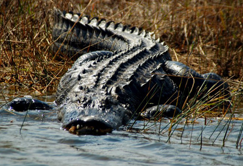 The Alligator: basically natures Liam Neeson.